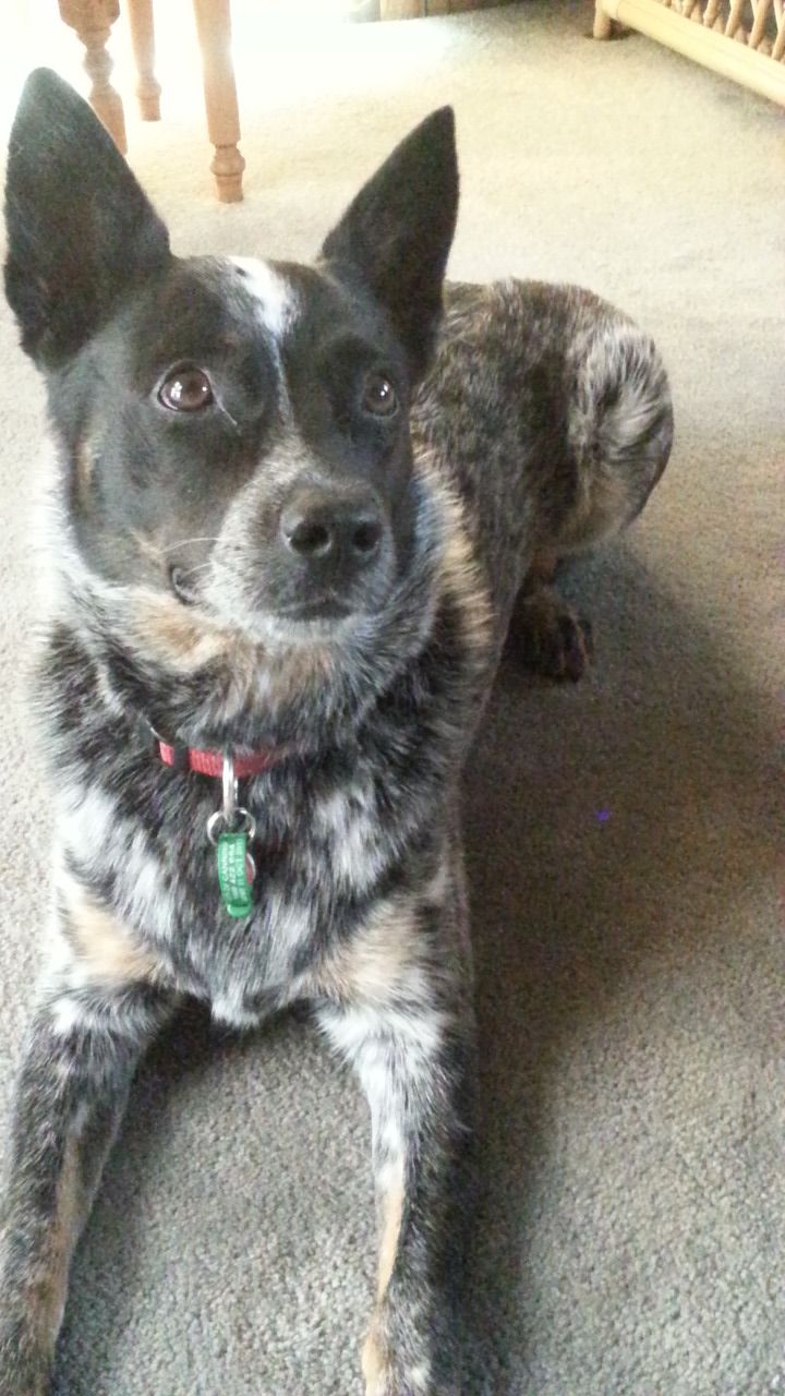 Yeah You Will Australian Cattle Dog Blue Heeler Austrailian Cattle Dog Australian Cattle Dog