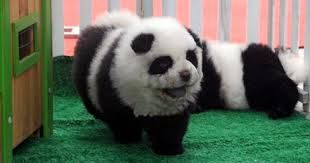 It looks just like a panda... But it is a dog not a panda. ITS SO FLUFFY