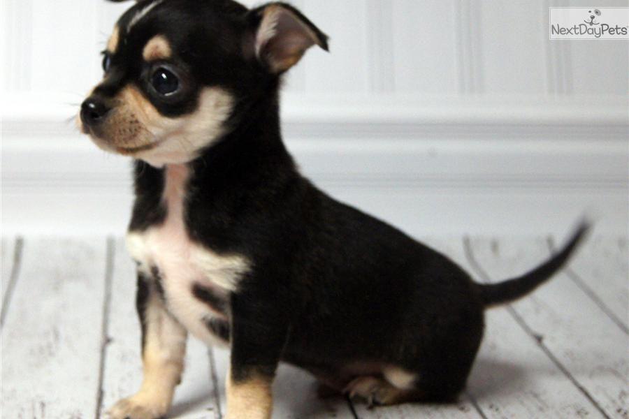 Black Tri Color Chihuahua Smooth Coat Chihuahua Chihuahua Lover