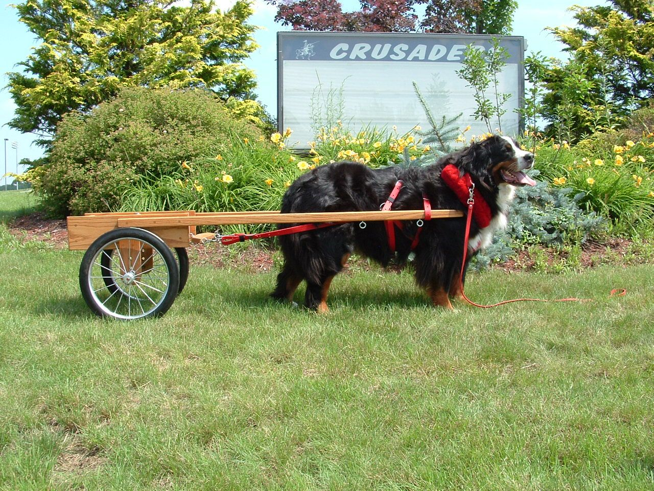 Dogs That Pull Carts Pictures Vedeos