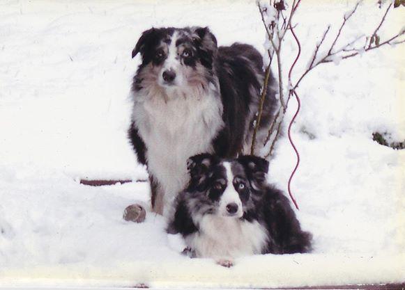 Australian Shepherd Kodiak And Apache Australian Shepherd Kodiak Dogs