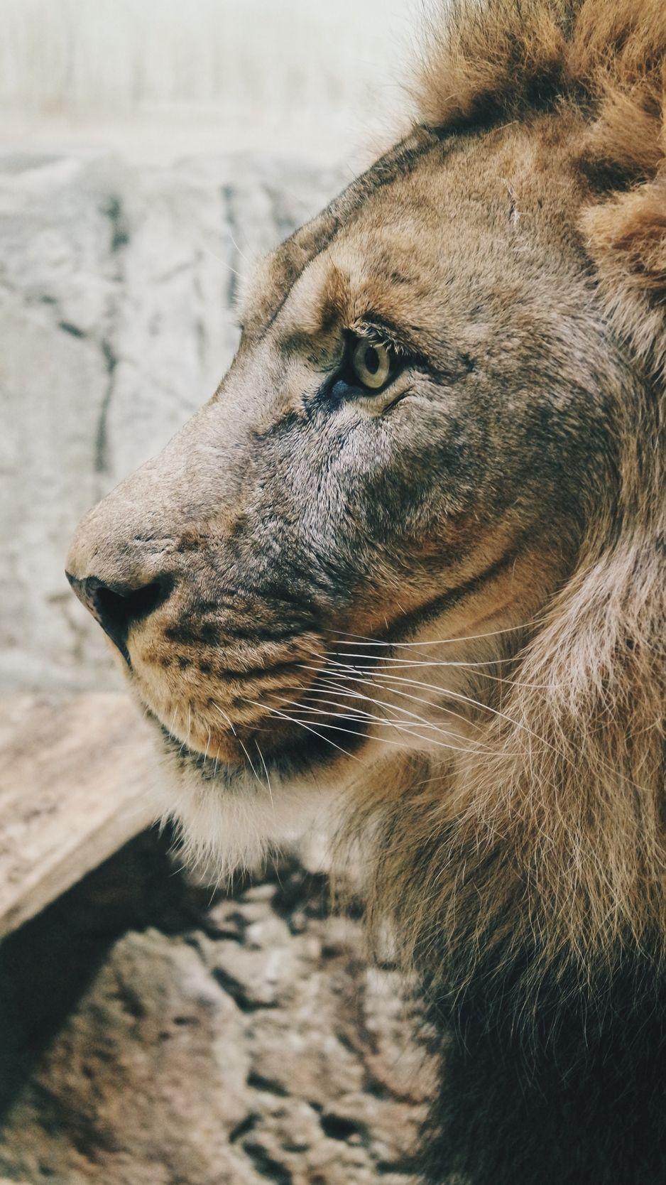 Lion Predator Profile Mane Sight King Of Beasts Wallpaper Beast Wallpaper Animals Lion Wallpaper