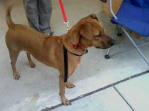 Adopt Mizzy On Petfinder Rhodesian Ridgeback Dog Labrador Retriever Mix Labrador Retriever