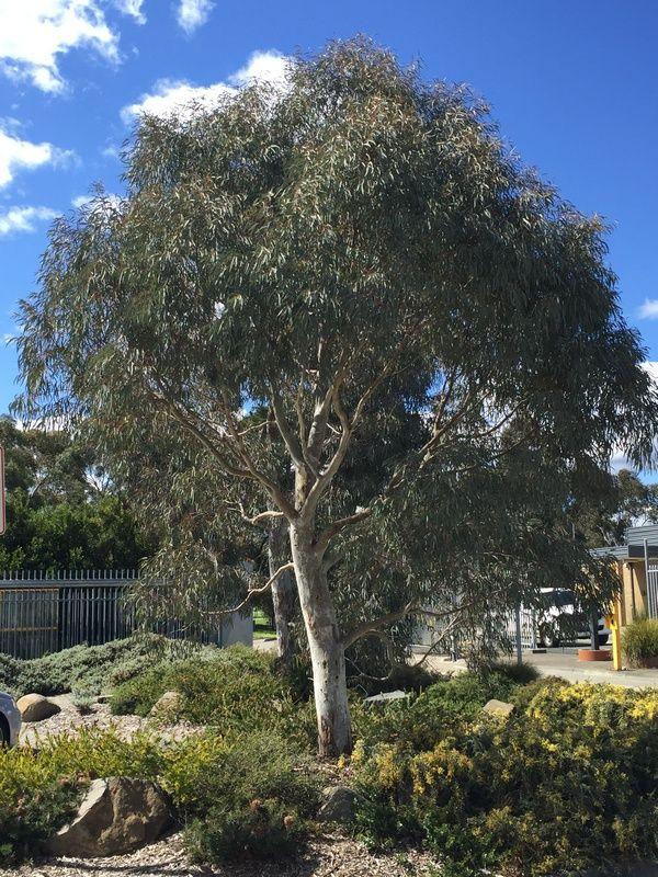 Grey Gum Seed Medium Eucalypt Adaptable Forestry Evergreen