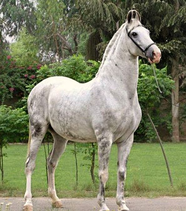 Powerful-looking gray Marwari mare. photo: Manu Sharma.