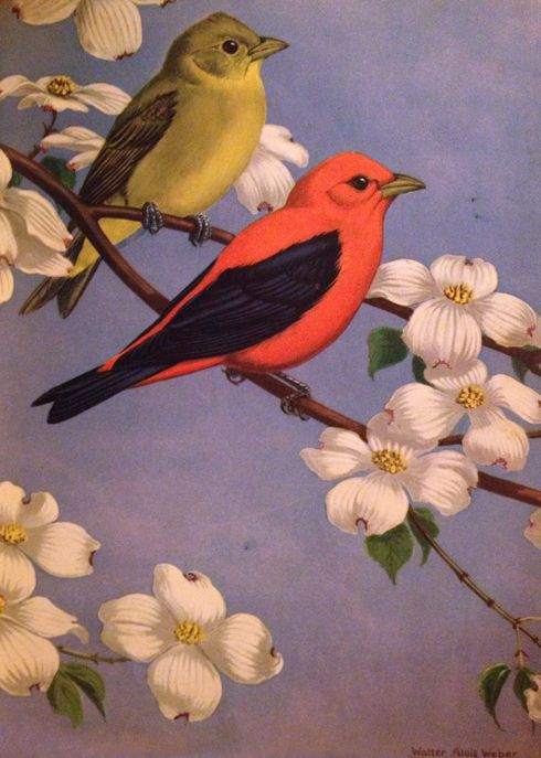 Traveling With The Birds: Tanagers