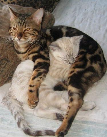 Bengal Cats Bengal Cat Cats Crazy Cats