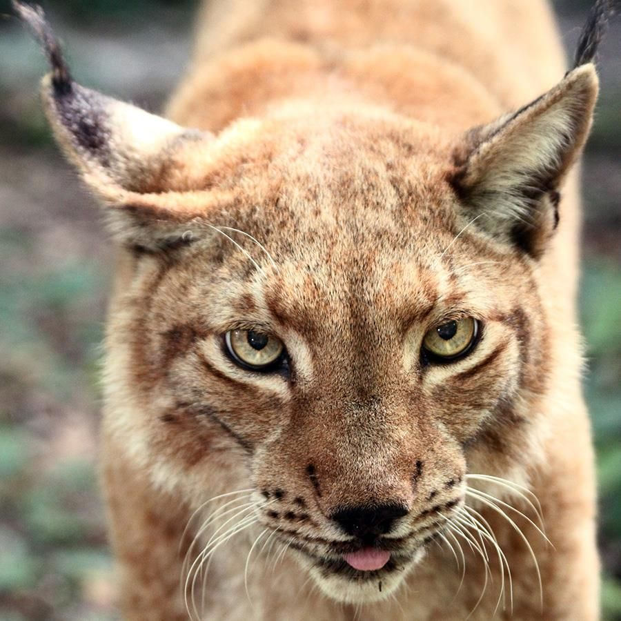 Siberian Lynx Big Cats Pinterest
