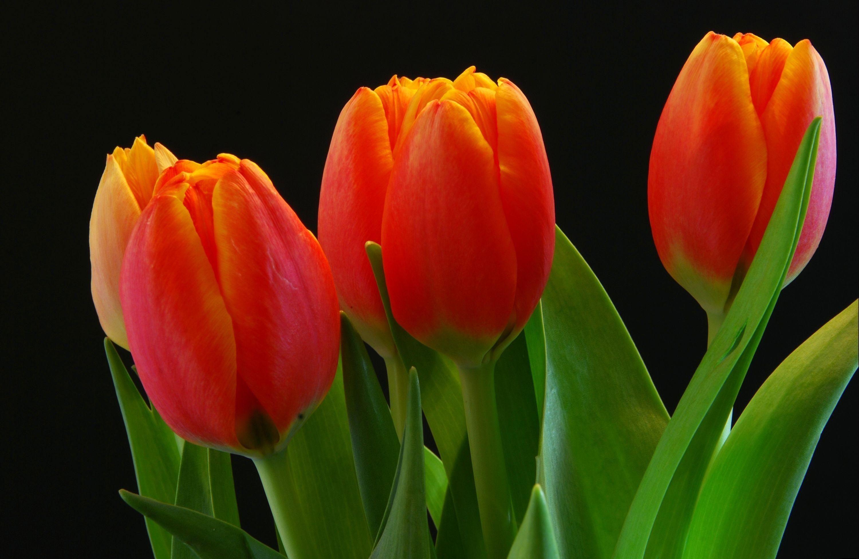Download Wallpaper Tulips Buds Red Black Background Hd Background Flower Desktop Wallpaper Orange Tulips Flowers