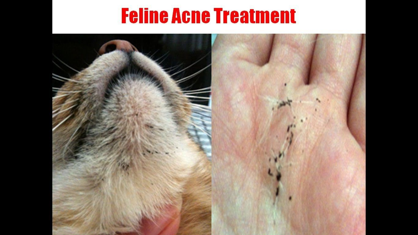 How To Get Rid Of Cat Acne Http Pets Ok Com How To Get Rid Of