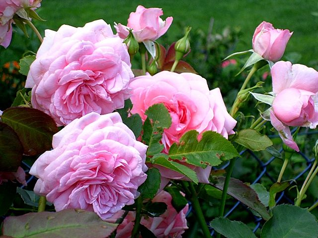 Roza Mamma Mia Mamma Mia Flowers Rose