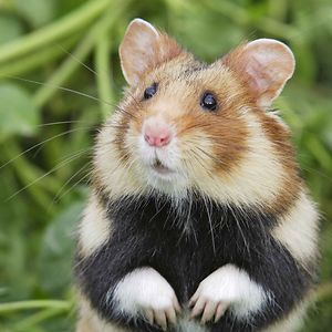 156 Adorable Hamsters That Will Cause A Cuteness Overload Cute Animals Wild Hamsters Cute Hamsters