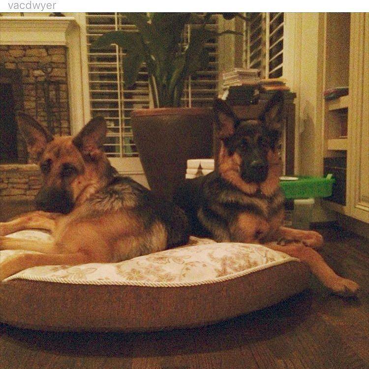 German Shepherd Fan Page - #gsd#germanshepherdsofinstagram #germanshepherdoftheworld #germanshepherd#dog#doggy#instadog #instapic#picoftheday #owczarekniemiecki #pies#k9#big#picoftheday #germanshepherdonline #germanshepherd4life #l4l#like4like #likeforlike #likeme#f4f#followforfollow #follow4follow #followme follow @dogs_world_2015  by germanshepherdfanpage