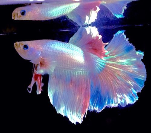Feather tail halfmoon platinum white betta fish w rainbow for Buy betta fish
