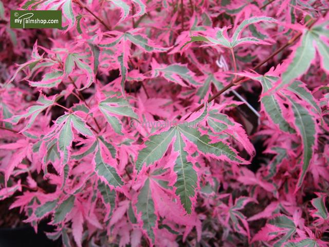 MyPalmShop.com - Acer palmatum Marlo-pink-green (Japanese Maple tree) #japanesemaple