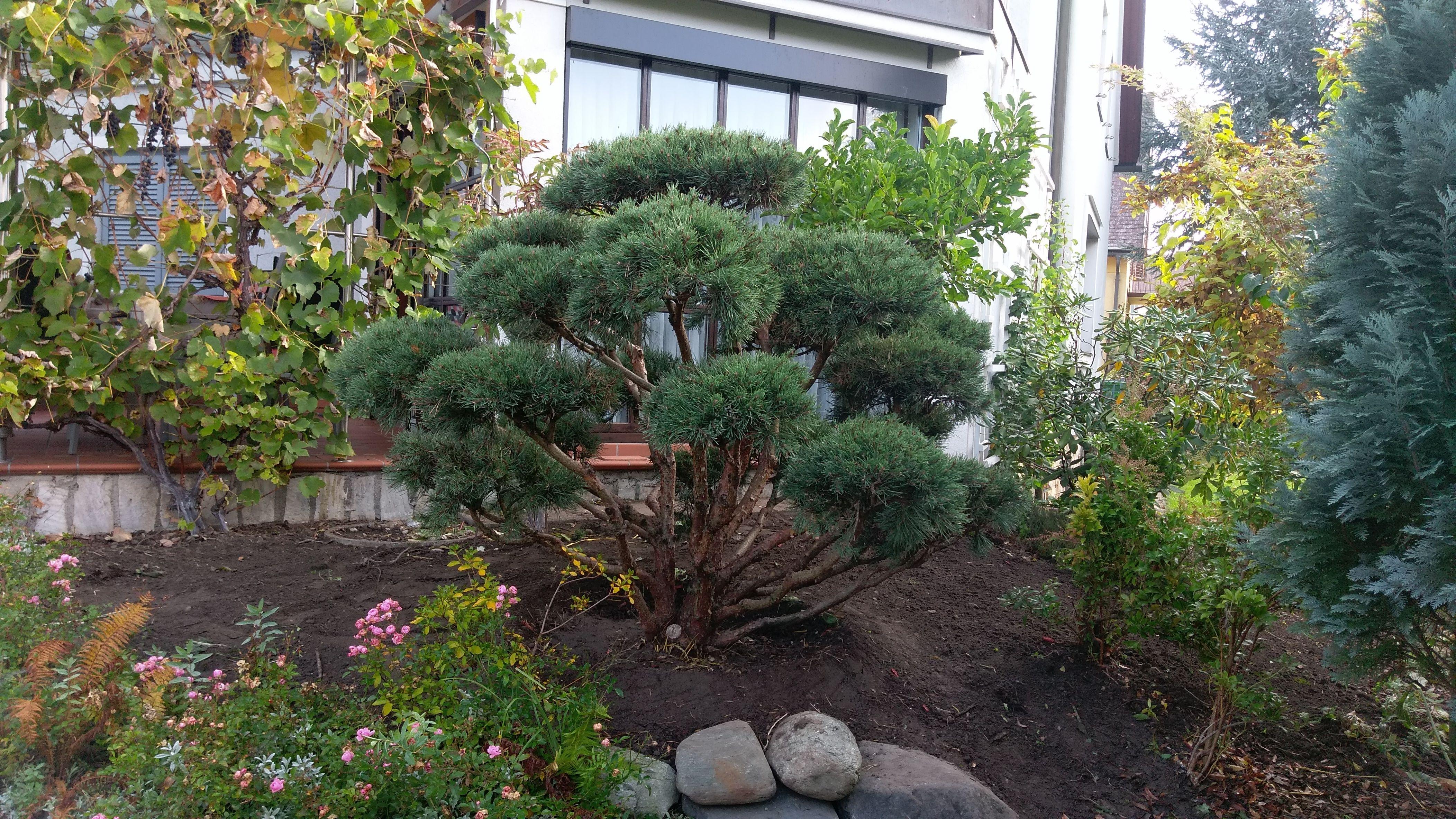 Kiefer Bonsai Im Garten Gartengestaltung Garten Kiefer Bonsai