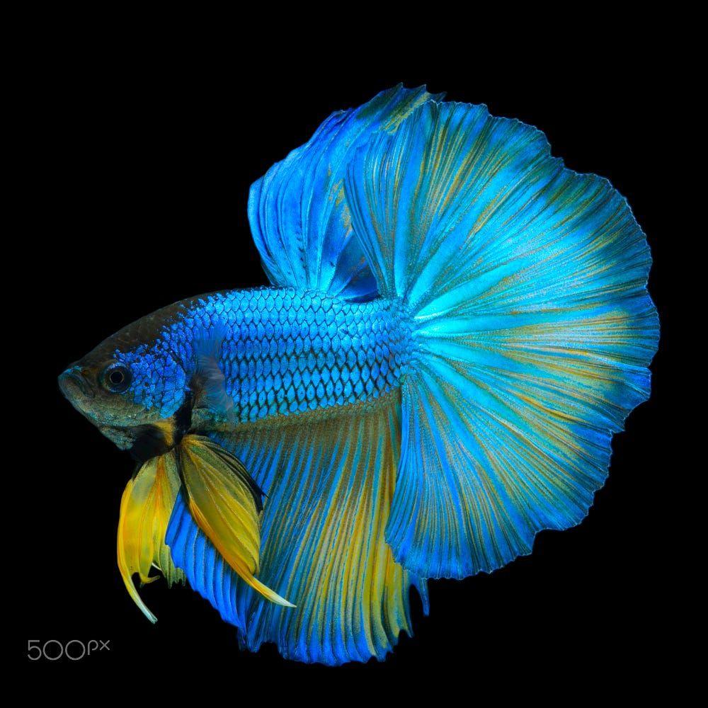 Blue Yellow Betta Fish In Black Backgroun By Prasit Utalert On