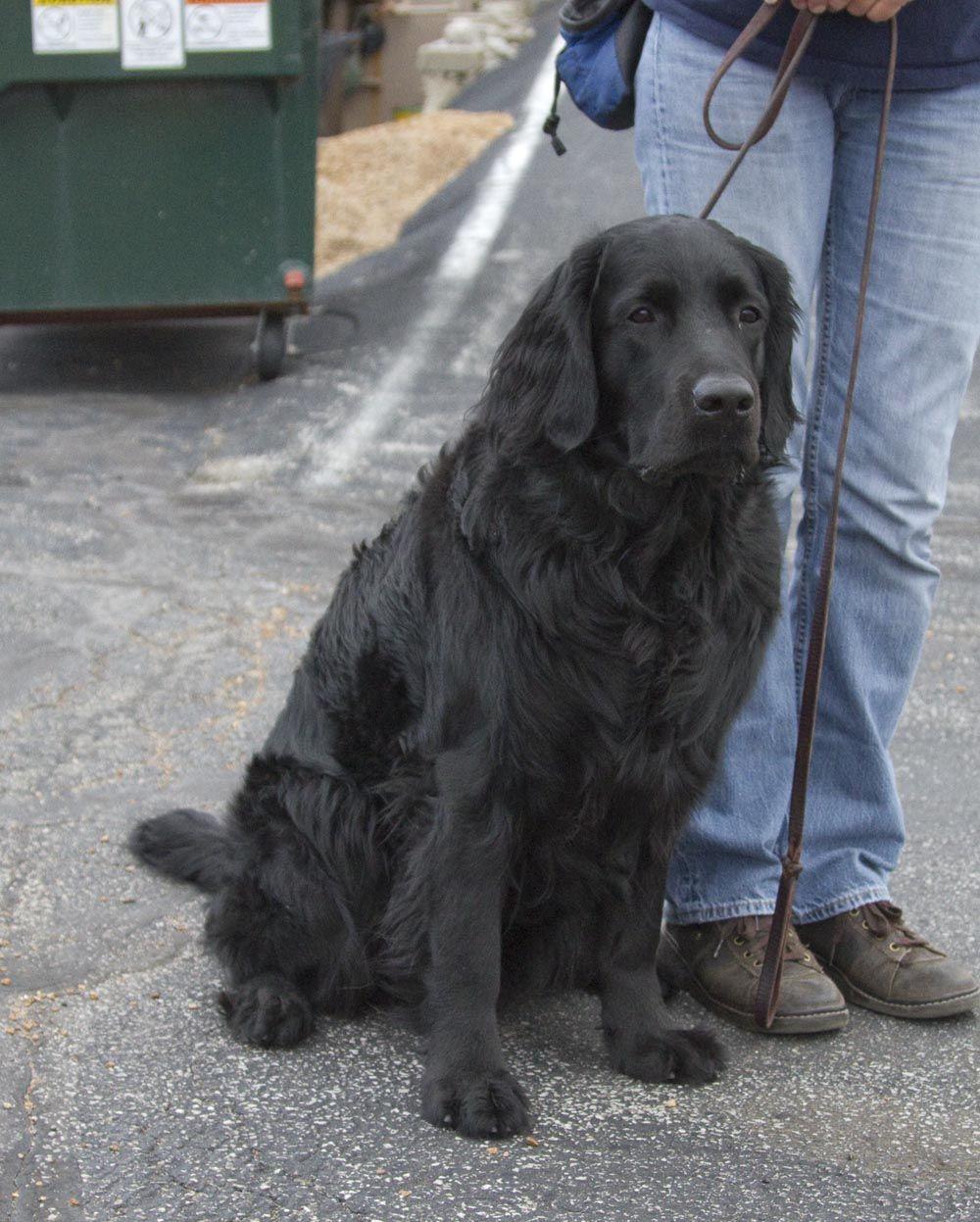 Do Labradors Come In Long Hair Labrador Retriever Labrador Dog Retriever