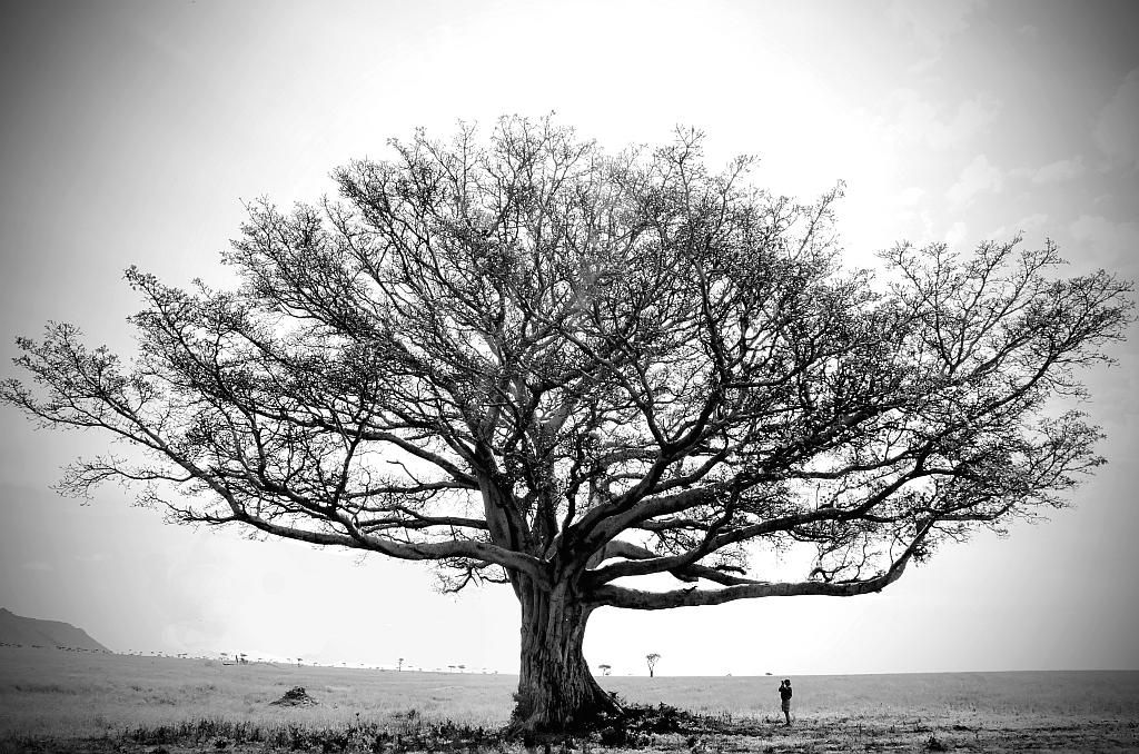 Cool Tree Black And White: Fig Tree Black And White - Google Search