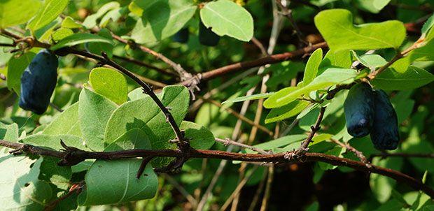 Le chèvrefeuille comestible, aussi appelé camerisier offre de délicieuses baies bleues en mai, au goût entre raisin, prune, kiwi et myrtille : les camerises