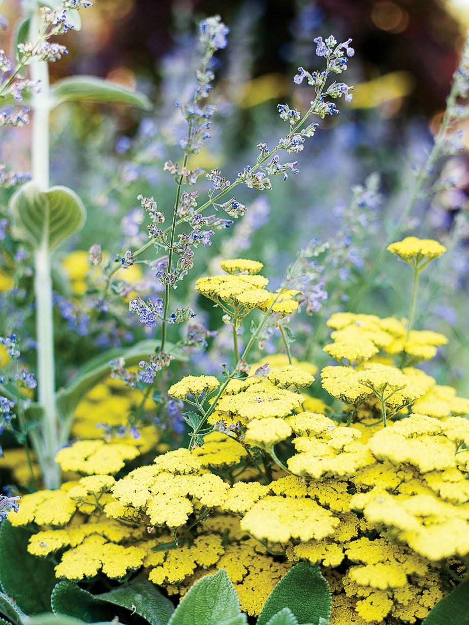 15 Favorite Perennial Flowers Pinterest Tall Plants Plants And