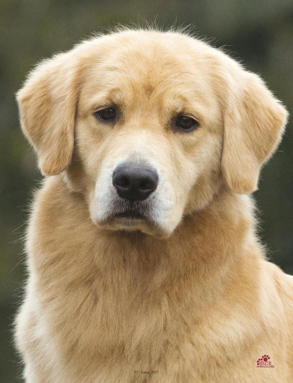 The Traits I Admire About The Outgoing Golden Retriever Puppy