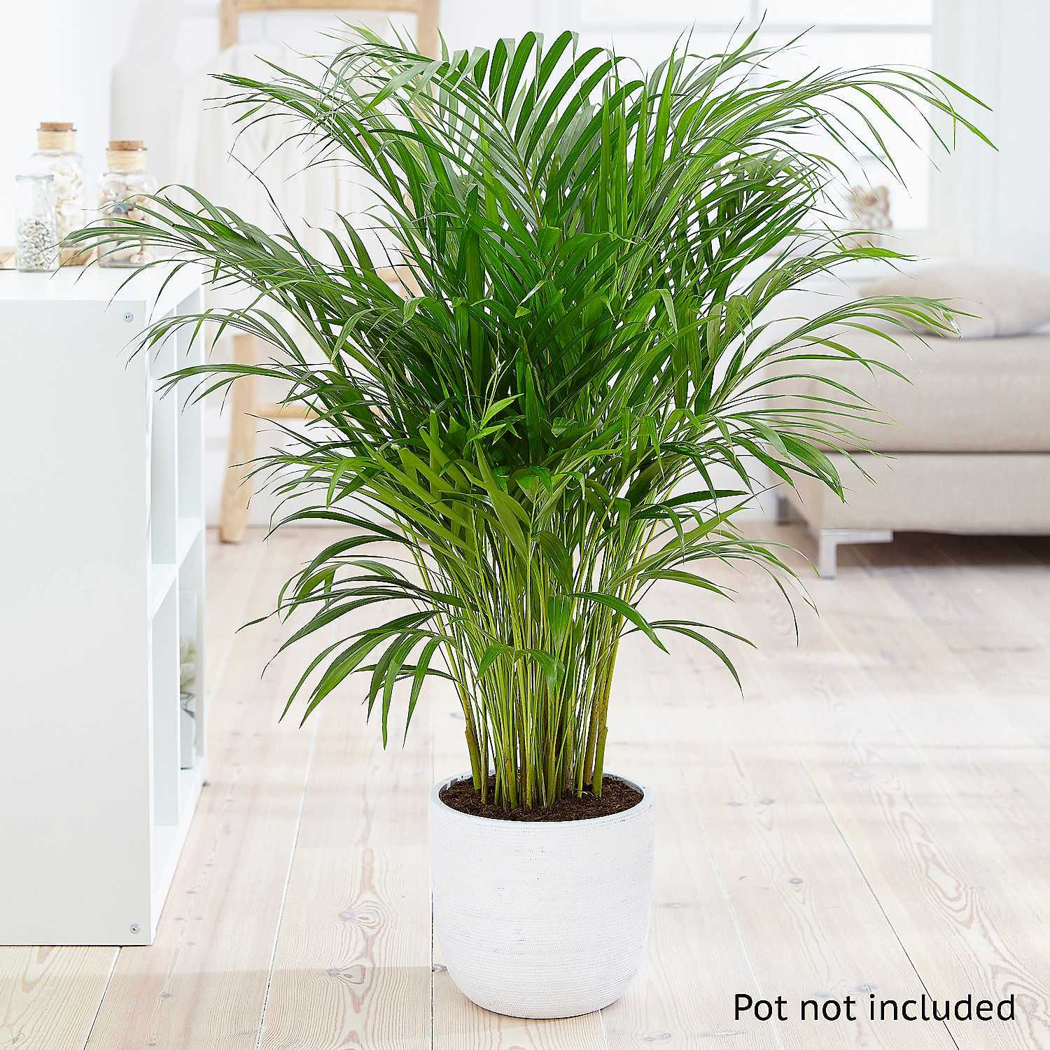 how to care for a palm plant in the winter