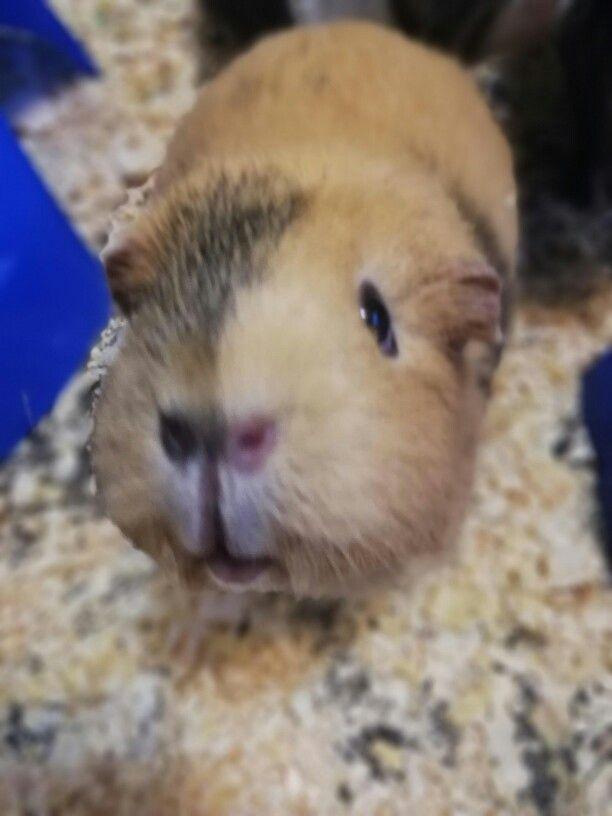Pin von kyaten auf Meerschweinchen (mit Bildern
