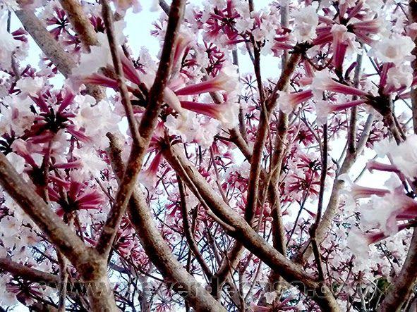 Ipê branco florido,