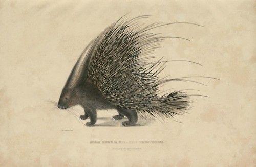 Indian Crested Porcupine, Histrix cristata  via Old Indian Arts