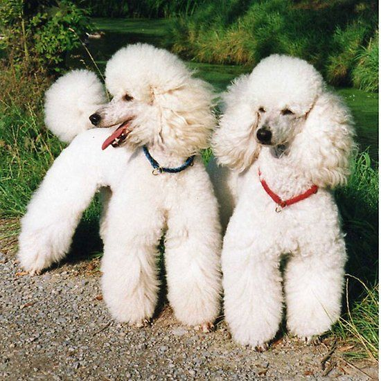 Poodle Group White Dog Breeds Poodle Grooming Poodle