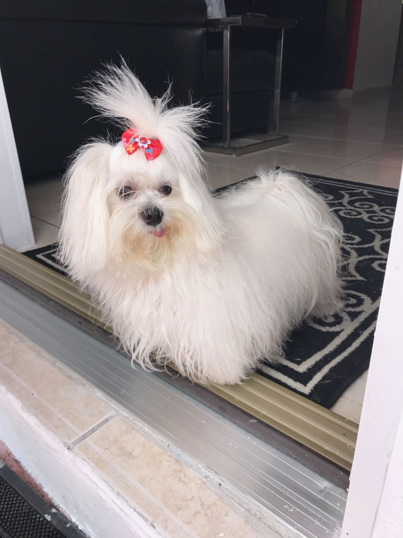 Pin By Sasha Maltese Toy On Sasha The Maltese Maltese Pup Dogs