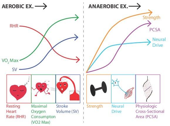Exercise Wikipedia Kinesiology, Exercise physiology