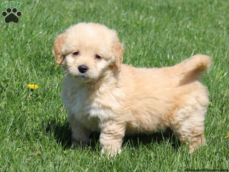 Miniature golden retriever pups for sale – Dogs in our ...