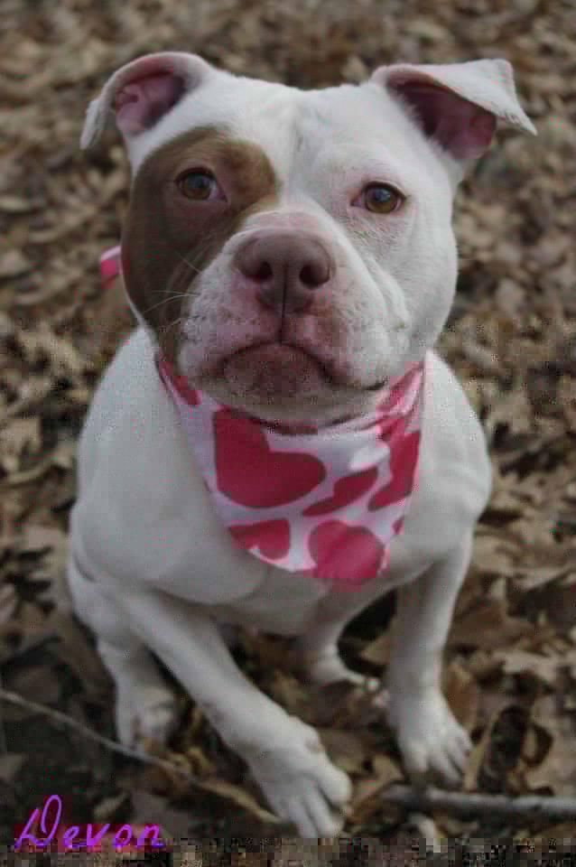 Adopt 284 Devon 4 Adopted On Pitbull Terrier Dog Adoption Homeless Pets