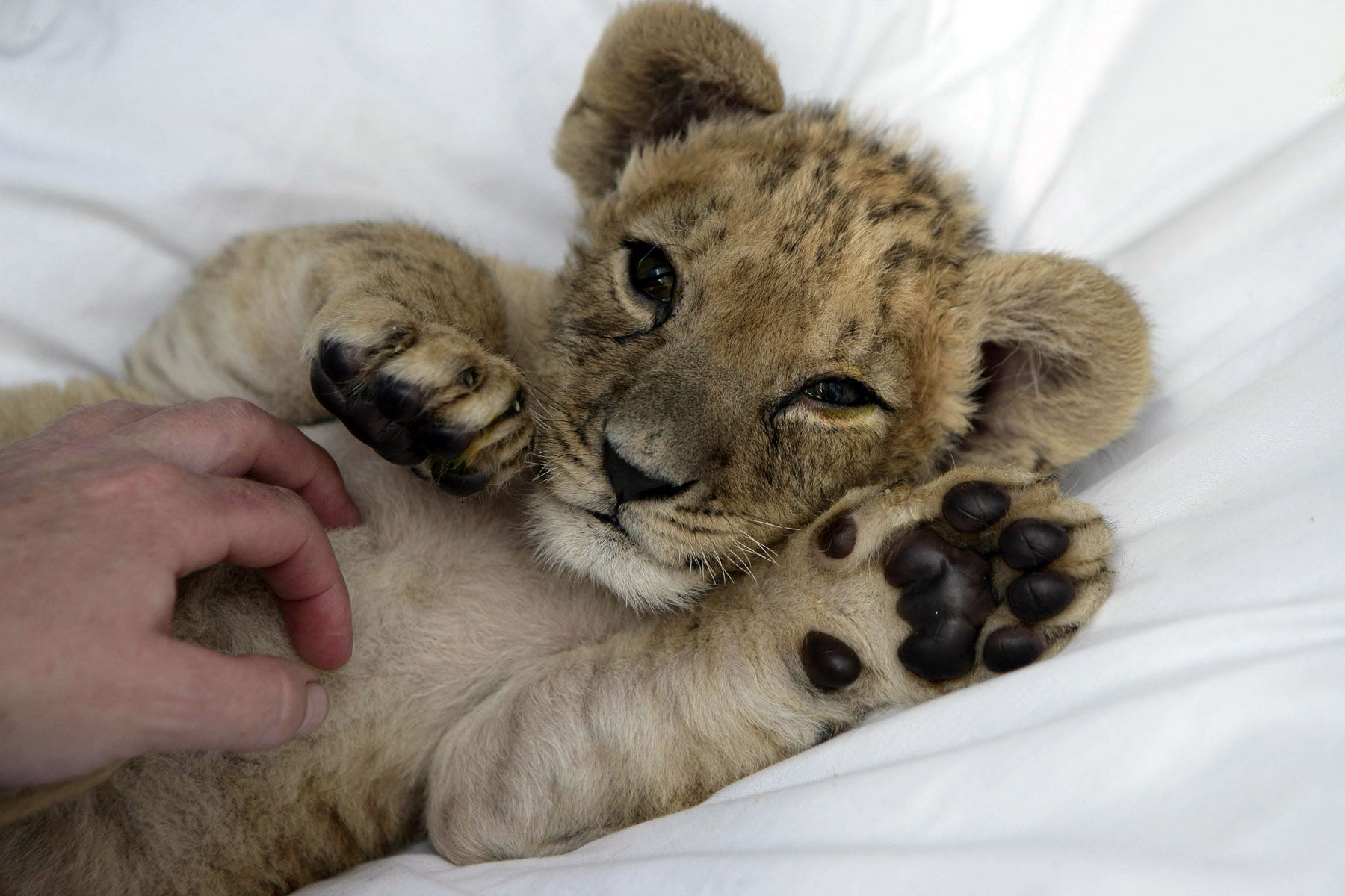 baby lion  Download Baby Lions wallpaper lily lion wallpaper