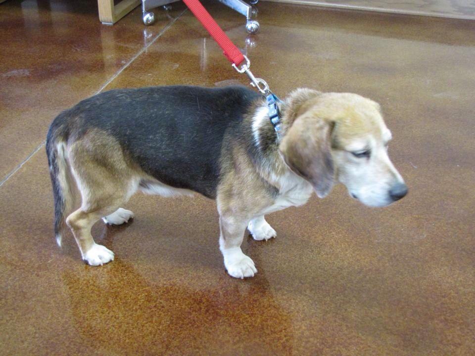 Founddog 1 5 14 Monroe Wi Beagle Male Tri Color Senior Https