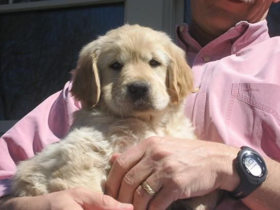 This Little One Is Going To Have The Most Beautiful Big Head Some Day Golden Retriever Puppies Golden Puppies