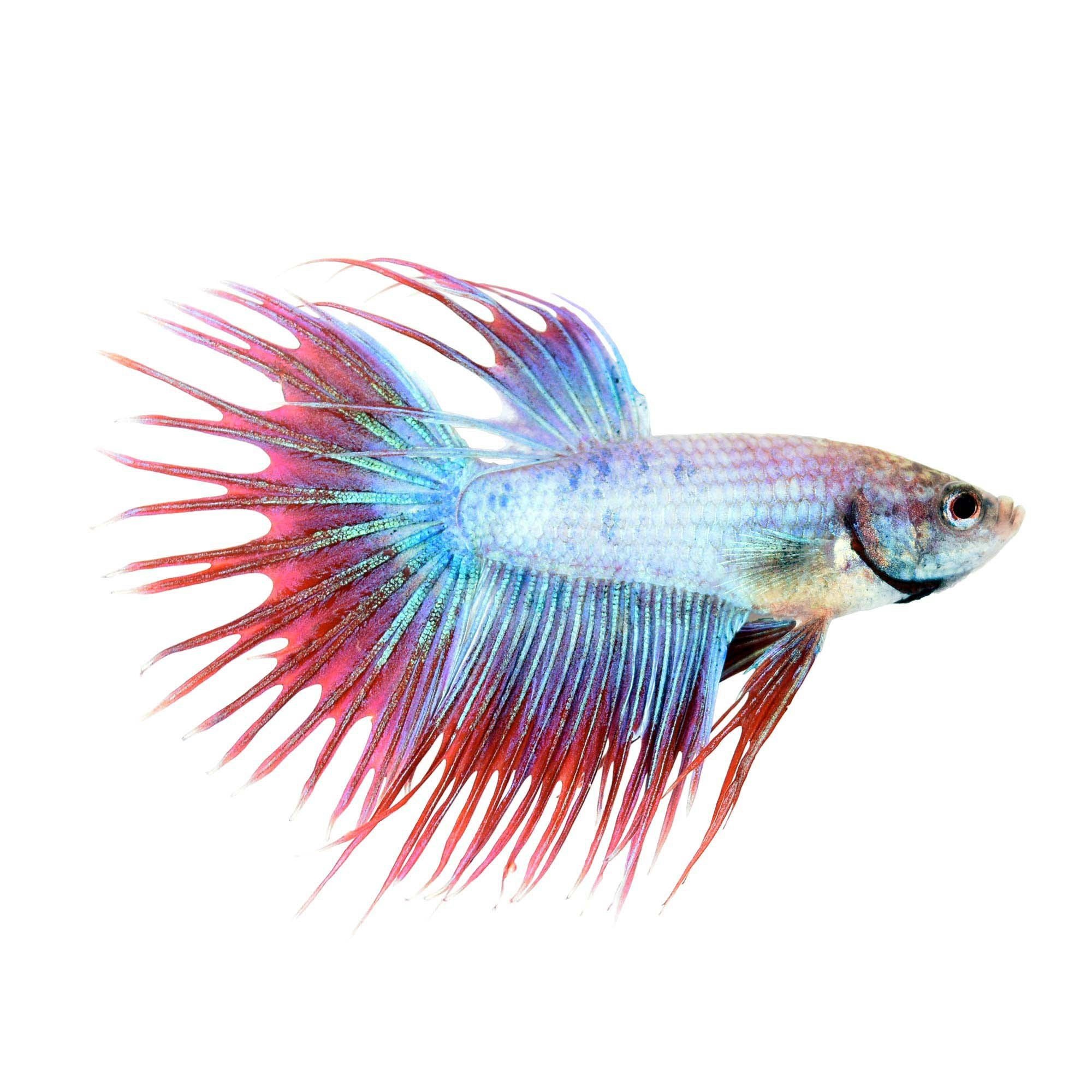 Male Cambodian Crowntail Betta Petco Betta Petco Siamese Fighting Fish