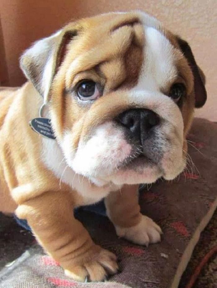 Fantastic Pinterest Chubby Adorable Dog - 0bdbd9d67cd52c3ffd77c2486bf81ab6  HD_617145  .jpg
