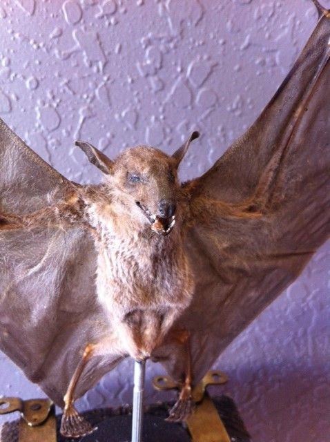 Perfect for your cabinet of curiosities and oddities collection this is a real taxidermy bat display.  Shop Oddities - Dysfunctional Grace Art Co
