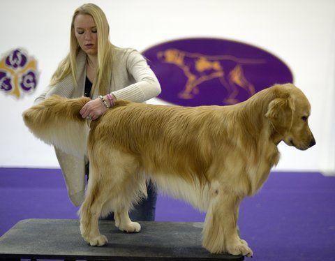 Highlights Of The Westminster Dog Show Dog Show Westminster Dog