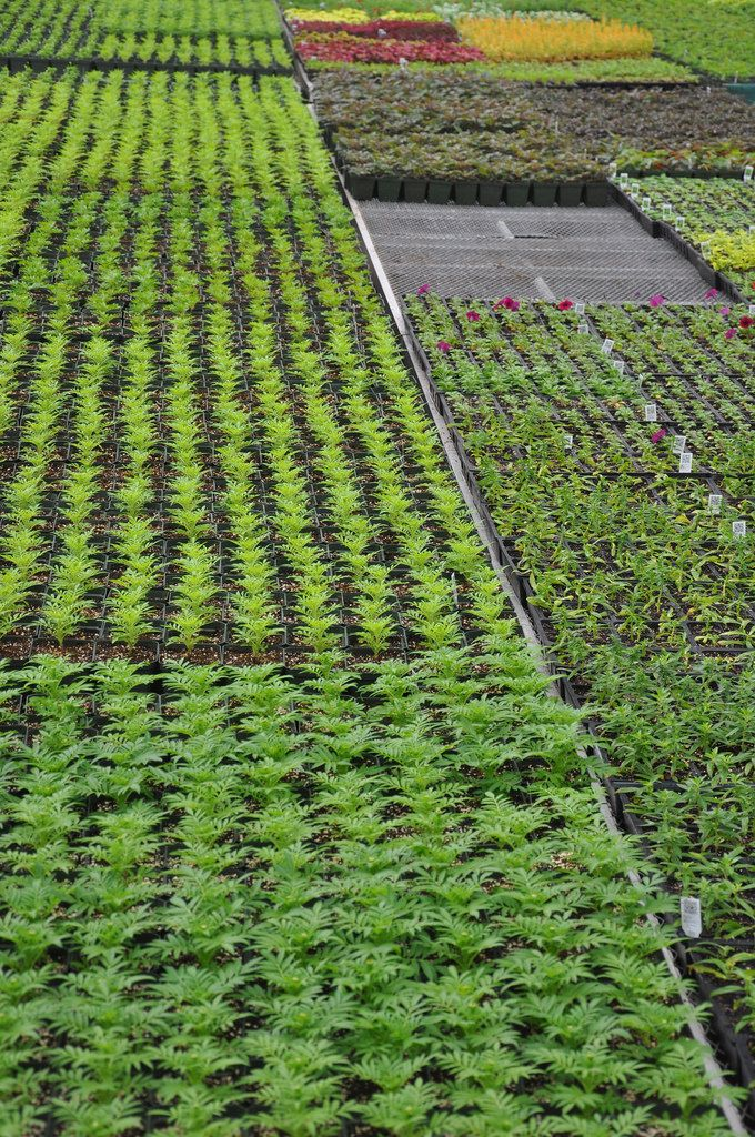 The City of Yonkers propagation greenhouse is filling up with annuals for the city and for Untermyer Gardens.