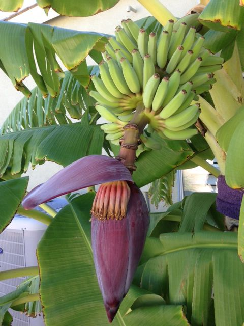 Banana Tree Growing In Gilbert Az Purchased From Tropica Mango Rare And Exotic Tropical Fruit Nursery