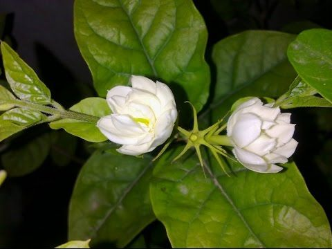 Jasmine Plant Care Urdu Hindi Jasmine Plant Jasmine Flower Flowers