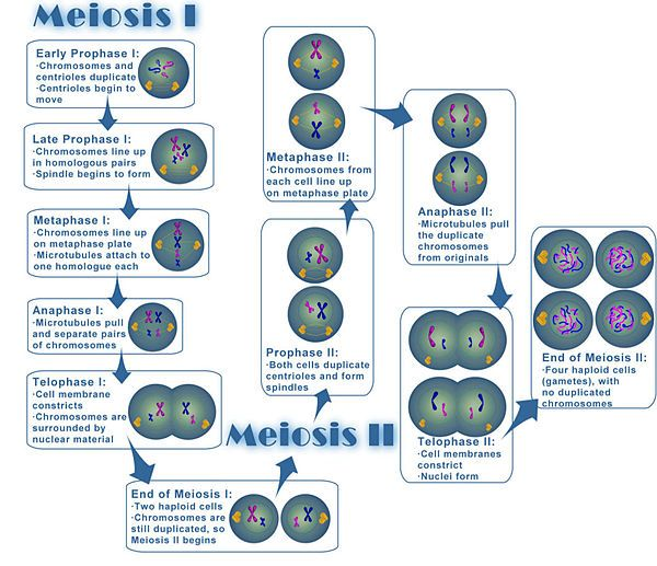 4 Objective #4 Juno Activities Meiosis - Mrs Eu0027s Biology Site - duplicate order form