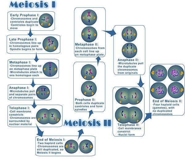 4. Objective #4 Juno Activities: Meiosis - Mrs. E's ...
