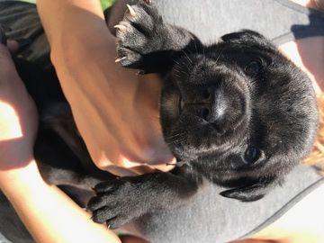 Beabull Puppies 1 2 English Bulldog 1 2 Mini Beagle South West Mo