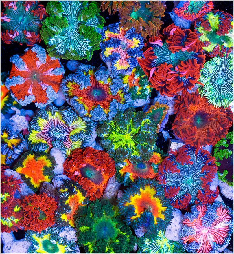 This R2r Member Is Setting Up A Rock Flower Anemone Breeding System This Should Be A Really Cool Project Click H Coral Reef Aquarium Reef Aquarium Coral Life