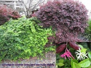 Loropetalum Chinense And Purple Majesty Purple Pinterest